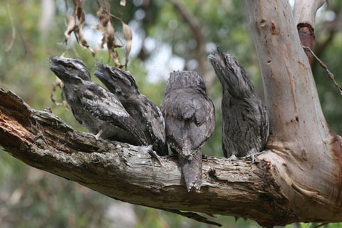 Otway Park Tawny Frogmouths